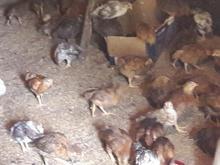 جوجه گلپایگان تخم گذار 40 روزه در شیپور