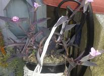 برگ بیدی بنفش در شیپور-عکس کوچک