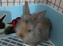 خرگوش لوپ نر3 ماهه در شیپور-عکس کوچک