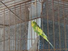 پرنده مرغ عشق در شیپور
