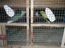 مرغ عشق آماده دستی شدن با گرید رنگ عالی در شیپور