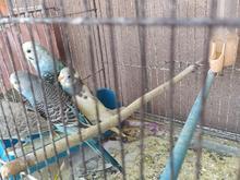 فروش یا معاوضه بایک جفت اردک خارجی در شیپور