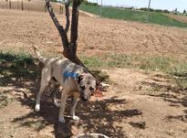 سگ سرابی بزز در شیپور-عکس کوچک