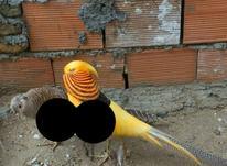 قرقاول لیمویی در شیپور-عکس کوچک