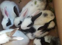 بچه خرگوش های بازیگوش در شیپور-عکس کوچک
