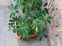 گل طبیعی گل زیبا فروش فوری در شیپور-عکس کوچک