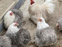 تخم نطفه دار کوشین در شیپور