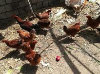 مرغ محلی وکشاورزی همه تخم گذار در شیپور-عکس کوچک