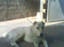 فروش سگ جوان در شیپور-عکس کوچک