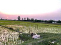 زمین کشاورزی واقع در روستای شیخرجه 3700 متری در شیپور-عکس کوچک
