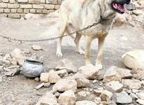 توله سگ سرابی عراقی جوان در شیپور-عکس کوچک