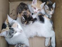 4عدد گربه خوشکل یکماهه در شیپور