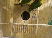 جفت طوطی کوتوله برزیلی مولد به شرط در شیپور-عکس کوچک