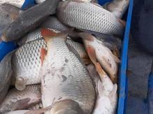 فروش بچه ماهی در شیپور