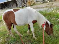 اسب ابلغ زیبا در شیپور-عکس کوچک
