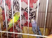 مرغ عشق نر بنفش زیبابا ماده رایگان 5 تخم هدیه( جفت مولد) در شیپور-عکس کوچک