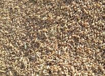 گندم تمیز و یکدست در شیپور-عکس کوچک
