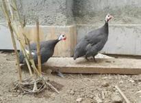 تخم مرغ شاخدارویامرغ روسی در شیپور-عکس کوچک