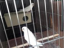 مرغ عشق البینو در شیپور