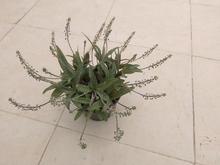 گل لدبوریا در شیپور