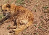 سگ گله ای و ادم گیر در شیپور-عکس کوچک