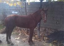 اسب نریان باری و سواری در شیپور-عکس کوچک