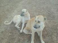 بهترین سگ سرابی اصیل در شیپور-عکس کوچک