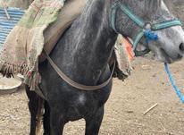 اسب باری و سواری در شیپور-عکس کوچک