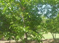 11باتمان باغ گردو و بادام یک کیلومتر بالاتر از دهکده توریست در شیپور-عکس کوچک