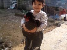 فروش مرغ خروس جوجه غازقو جوجه مرغ گلین مرع زینتی در شیپور