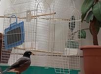 فروش مرغ مینا یا معاوضه با کبوتر در شیپور-عکس کوچک
