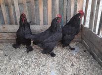 مرغ و خروس مرندی اصل در شیپور-عکس کوچک