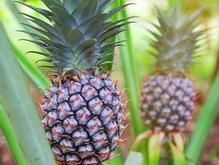 نهال بوته آناناس نژاد کوموسوس (comosus) در شیپور