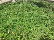 شتل گوجه درجه 1 در شیپور