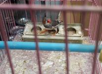 فنچ نر مست در شیپور-عکس کوچک