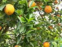 فروش پرتقال والنسیا در شیپور