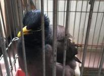 مرغ مینا سخن گو در شیپور-عکس کوچک