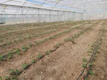 اجاره گلخانه آماده در شیپور