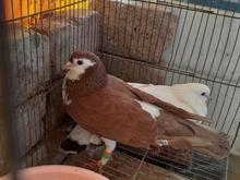 کبوتر ساده فروشی در شیپور