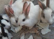 فروش بچه خرگوش در ابهر در شیپور-عکس کوچک