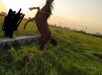اسب سالم تند رو سواری در شیپور-عکس کوچک