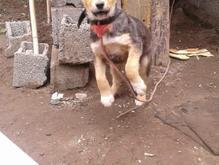 سگ ژرمن نر باهوش در شیپور