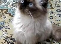 گربه پرشین در شیپور-عکس کوچک