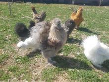 تخم نطفه دار و جوجه ابریشمی و برهما در شیپور