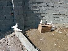 7 عدد کبوتر فقط برای معاوضه در شیپور