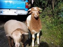 دوگوسفند نروماده زیبا واکاملاسالم در شیپور