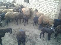 گوسفند200 عدد میش بره در شیپور-عکس کوچک