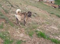 سگ بدون شرح کانگال در شیپور-عکس کوچک