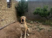 سگ گله افغان در شیپور-عکس کوچک