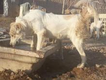 سگ کور گمشده در شیپور